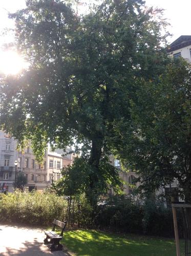 Acer saccharinum var. laciniatum – Bruxelles, Avenue de la Porte de Hal –  01 Octobre 2013