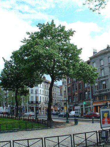 Erable plane – Bruxelles, Avenue de la Porte de Hal –  14 Mai 2002