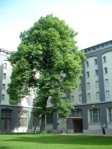 Tilleul du Caucase – Bruxelles, Rue Saint-Ghislain, 23 –  15 Mai 2002