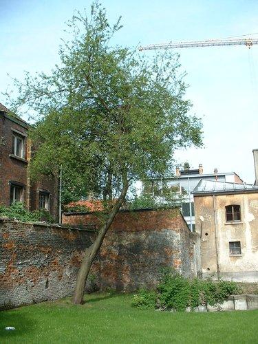 Prunus cerasifera – Bruxelles, Rue Saint-Ghislain, 23 –  15 Mai 2002