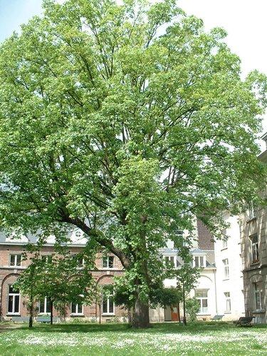 Erable sycomore – Bruxelles, Rue aux Laines, 17 –  15 Mai 2002