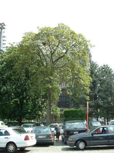 Ailante glanduleux – Bruxelles, Place du Grand Sablon –  15 Mai 2002