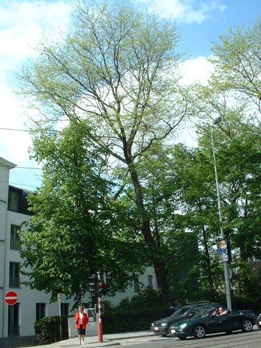 Valse Christusdoorn – Brussel, Landschap van Regentschapsstraat, Regentschapsstraat –  15 Mei 2002