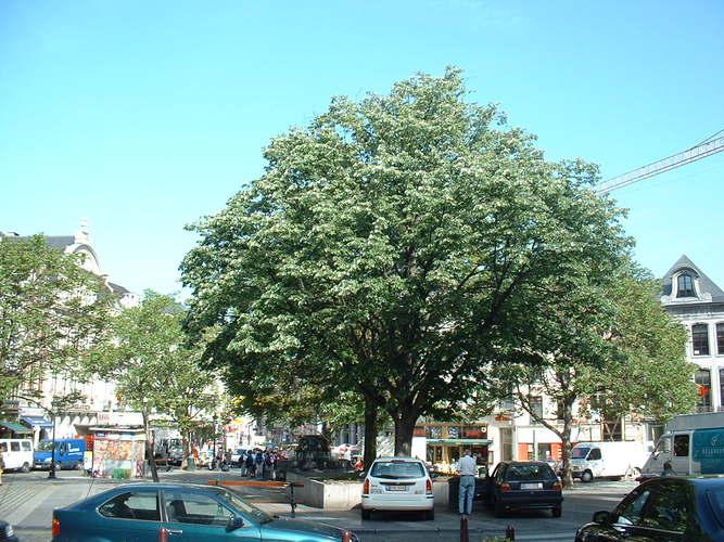 Tilleul argenté – Bruxelles, Rue du Marché aux Herbes, 111 –  16 Mai 2002