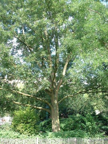 Chêne à cupules chevelues – Auderghem, Parc Seny, Boulevard du Souverain –  19 Juillet 2002