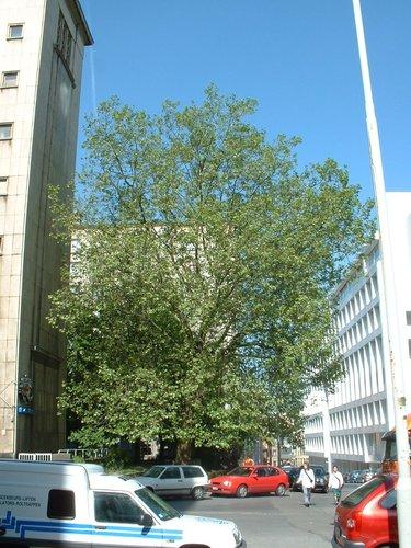 Platane à feuille d'érable – Bruxelles, Rue du Meiboom, 36 –  16 Mai 2002