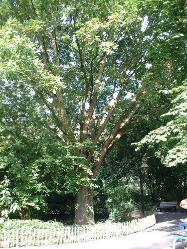 Chêne de Hongrie – Auderghem, Parc Seny, Boulevard du Souverain –  19 Juillet 2002