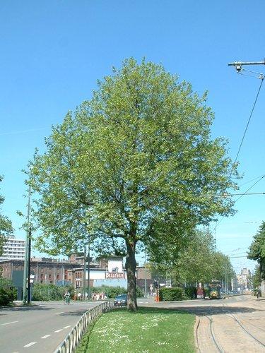 Platane à feuille d'érable – Bruxelles, Boulevard de l'Abattoir –  16 Mai 2002