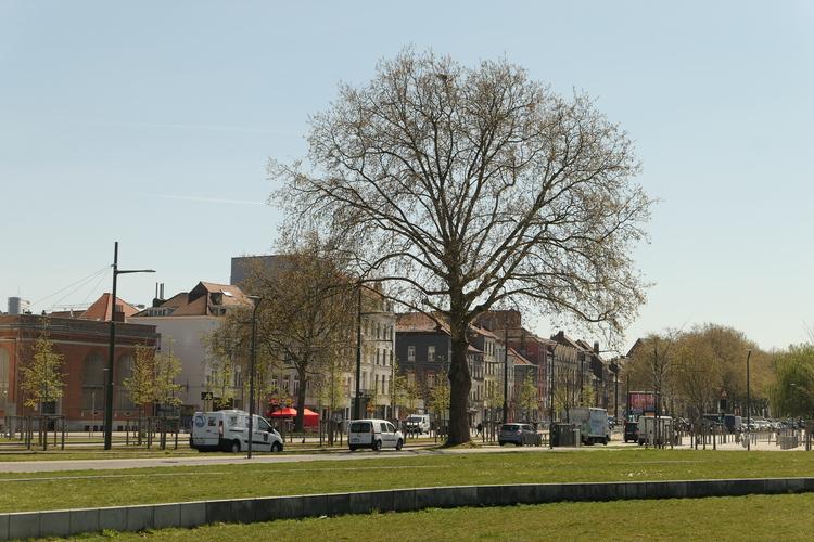 Platane à feuille d'érable – Molenbeek-Saint-Jean, Square Auguste Smets –  23 Avril 2021