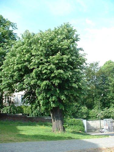 Tilleul argenté – Bruxelles, Abords de l'Institut royal des Sciences naturelles de Belgique, Rue Vautier, 31 –  21 Mai 2002