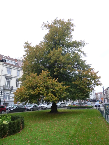 Tilleul du Caucase<br>Bruxelles Square Gutenberg Square Gutenberg