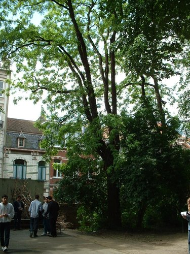 Robinier faux-acacia – Bruxelles, Rue des Confédérés, 70 –  27 Mai 2002