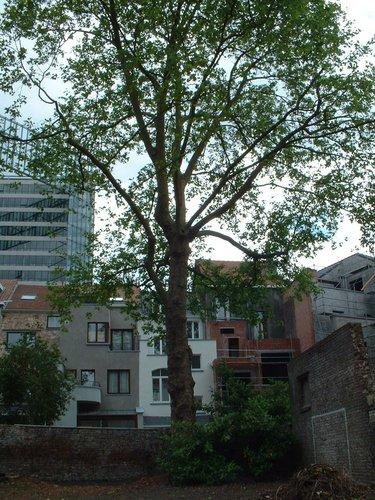 Platane à feuille d'érable – Bruxelles, Rue Stevin, 81 –  27 Mai 2002