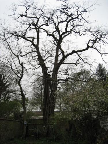 Robinier faux-acacia – Schaerbeek, Rue Albert de Latour, 30 –  30 Mars 2012
