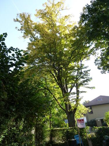 Tilleul à petites feuilles – Uccle, Bosveldweg –  22 Octobre 2012