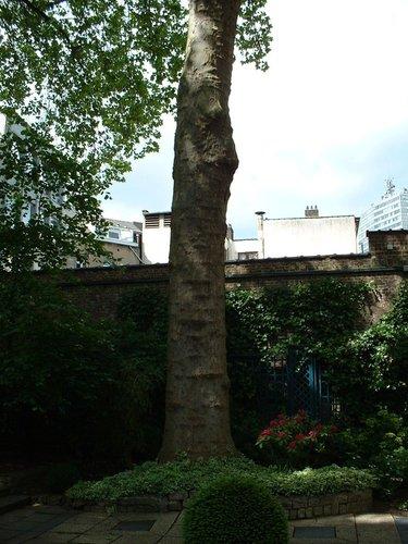 Platane à feuille d'érable – Bruxelles, Rue Ducale, 65 –  29 Mai 2002