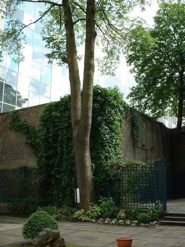 Erable sycomore – Bruxelles, Rue Ducale, 65 –  29 Mai 2002