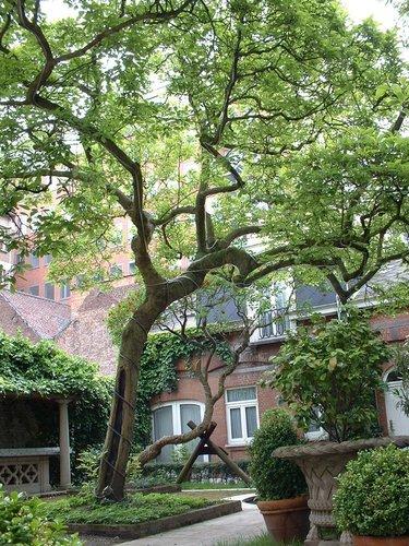 Magnolia sp – Bruxelles, Rue du Commerce, 9 –  28 Mai 2002