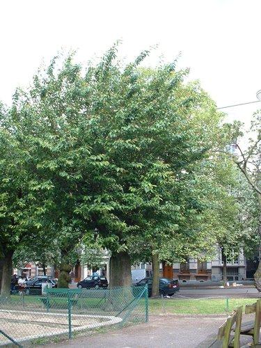 Cerisier du Japon – Schaerbeek, Place des Chasseurs Ardennais –  29 Mai 2002