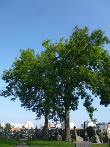 Frêne commun – Schaerbeek, Cimetière de Saint-Josse-ten-Noode, Rue Henri Chomé, 9 –  09 Septembre 2015
