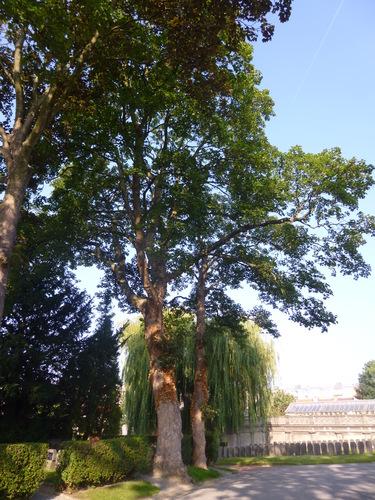 Erable sycomore – Schaerbeek, Cimetière de Saint-Josse-ten-Noode, Rue Henri Chomé, 9 –  09 Septembre 2015