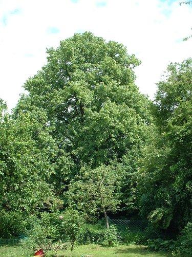 Krimlinde – Schaarbeek, Auguste Reyerslaan, 150 –  30 Mei 2002