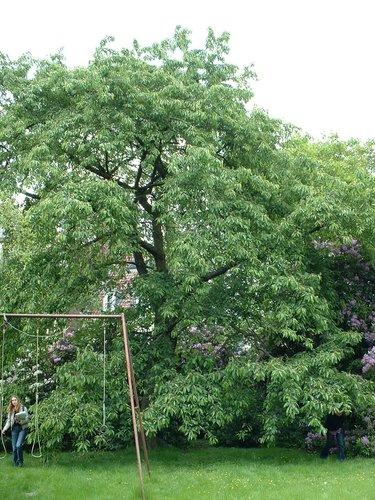 Merisier – Schaerbeek, Rue Vergote, 17 –  30 Mai 2002