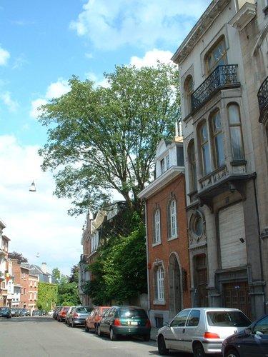 Erable sycomore – Schaerbeek, Rue Vergote, 17 –  30 Mai 2002