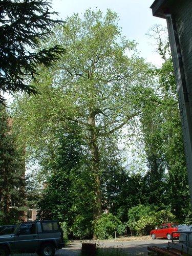 Platane à feuille d'érable – Schaerbeek, Rue Frédéric Pelletier, 37 –  31 Mai 2002