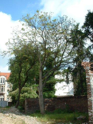 Noyer royal – Schaerbeek, Rue Frédéric Pelletier, 37 –  31 Mai 2002