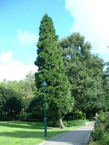Calocedrus decurrens 'Columnaris' – Auderghem, Parc Seny, Boulevard du Souverain –  22 Juillet 2002