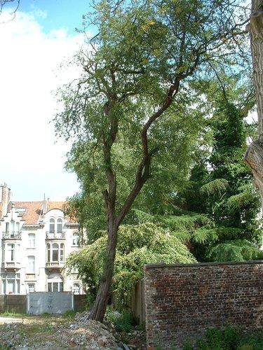 Aubépine à un style/ Epine blanche – Schaerbeek, Rue Frédéric Pelletier, 37 –  31 Mai 2002