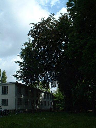 Hêtre pourpre – Schaerbeek, Rue Frédéric Pelletier, 37 –  31 Mai 2002