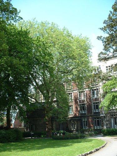Platane à feuille d'érable – Schaerbeek, Place de Jamblinne de Meux, 14 –  31 Mai 2002