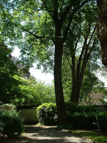 Tilia sp – Schaerbeek, Place de Jamblinne de Meux, 14 –  31 Mai 2002