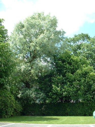 Saule blanc – Schaerbeek, Place de Jamblinne de Meux, 34 –  31 Mai 2002