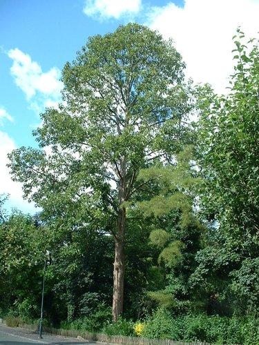 Peuplier à grandes feuilles – Auderghem, Parc Seny, parc –  22 Juillet 2002