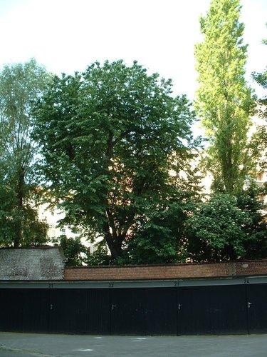 Merisier – Schaerbeek, Rue Paul Devigne, 96 –  04 Juin 2002