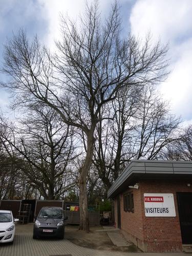 Erable à feuilles de frêne – Schaerbeek, Stade Chazal, Avenue Ernest Cambier, 28 –  03 Décembre 2015