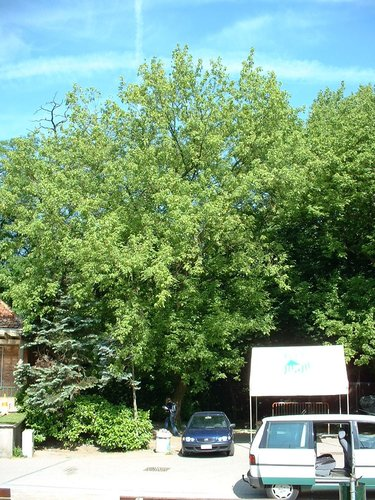 Erable à feuilles de frêne – Schaerbeek, Stade Chazal, Avenue Ernest Cambier, 2b –  04 Juin 2002