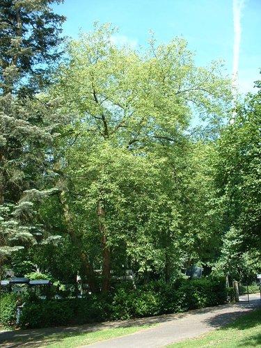 Erable à feuilles de frêne – Schaerbeek, Avenue Chazal, 183 –  04 Juin 2002