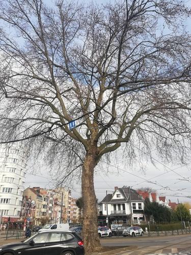 Platane à feuille d'érable – Schaerbeek, Place Général Meiser –  23 Mars 2021