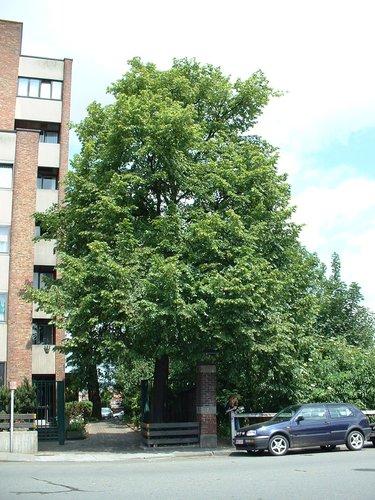 Tilleul commun – Schaerbeek, Chaussée de Louvain, 437 –  04 Juin 2002