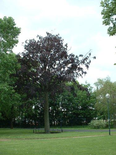 Hêtre pourpre – Schaerbeek, Parc Albert ou Terdelt, Drève Recteur Van Waeyenbergh –  04 Juin 2002