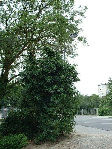 Sureau noir – Evere, Square Servaes Hoedemaekers –  19 Juin 2002