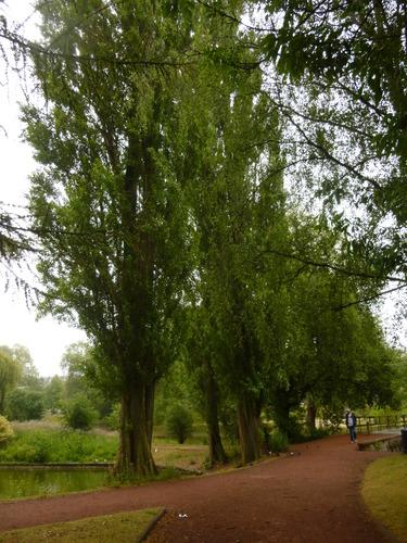 Italiaanse populier – Anderlecht, Vijverpark –  15 Juli 2015