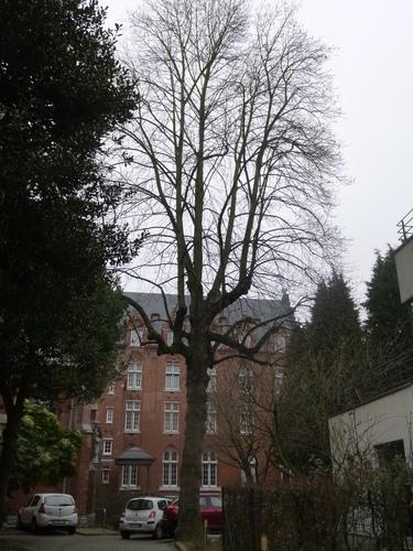 Tulpenboom – Brussel, Tuin van de kerk van de Dominikanen, Renaissancelaan, 40 –  17 February 2015