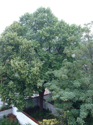 Tilleul commun – Ixelles, Rue de la Brasserie, 39 –  13 Juin 2002