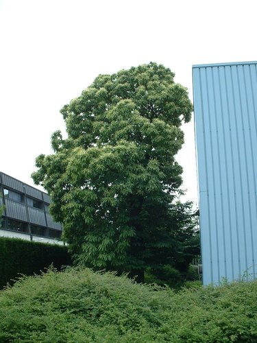 Châtaignier – Evere, Avenue de Schiphol, 2 –  14 Juin 2002