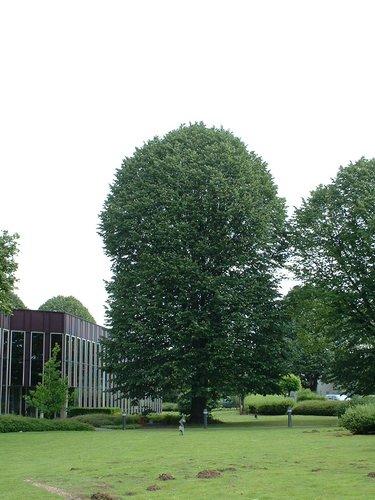 Tilleul argenté – Evere, Avenue Jules Bordet, 11 –  14 Juin 2002